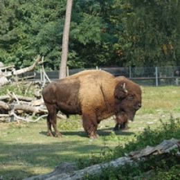Gestatten – Bison, Bulle. Namenlos.